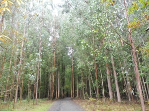 Unpopular eucalyptus trees