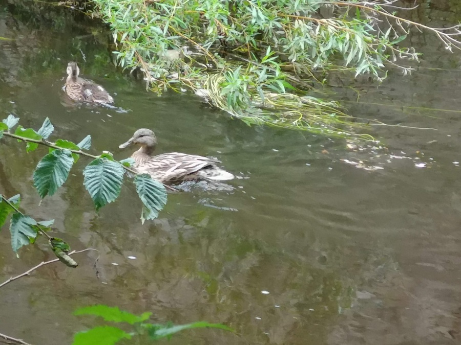 Two ducks swimming on the Water of Leith, Edinburgh