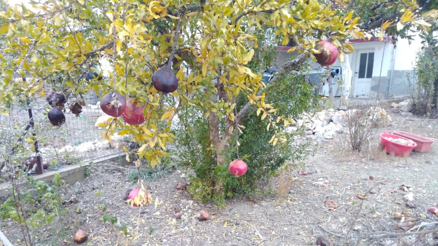 Winter fruit tree - pomegranates