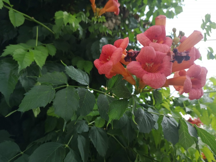 Orange pink trumpets of large flowers and serrated leaves