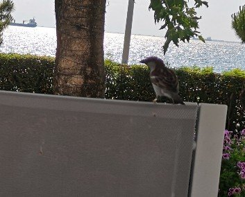 Sparrow perched on chair back