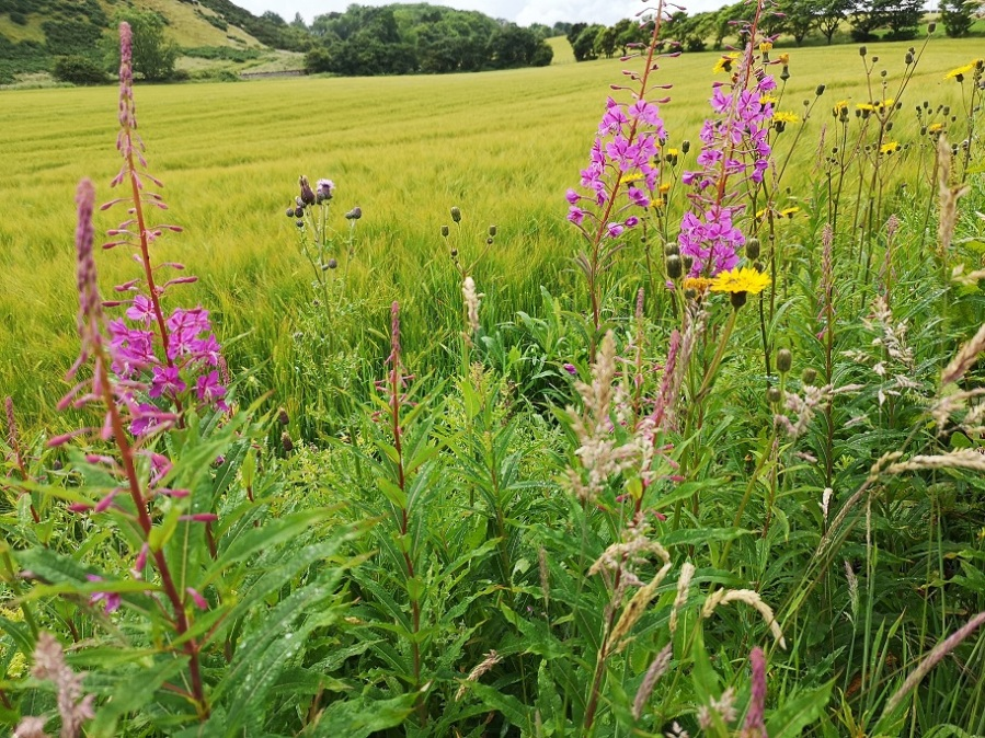 wild flowers beside a field