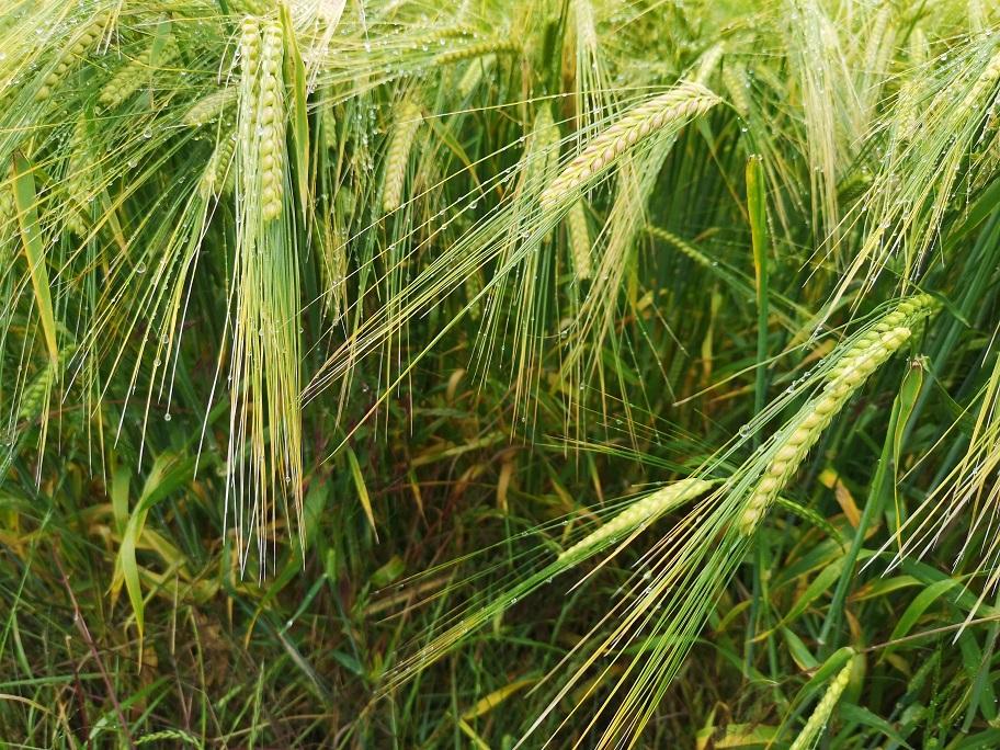 whisps of barley growing
