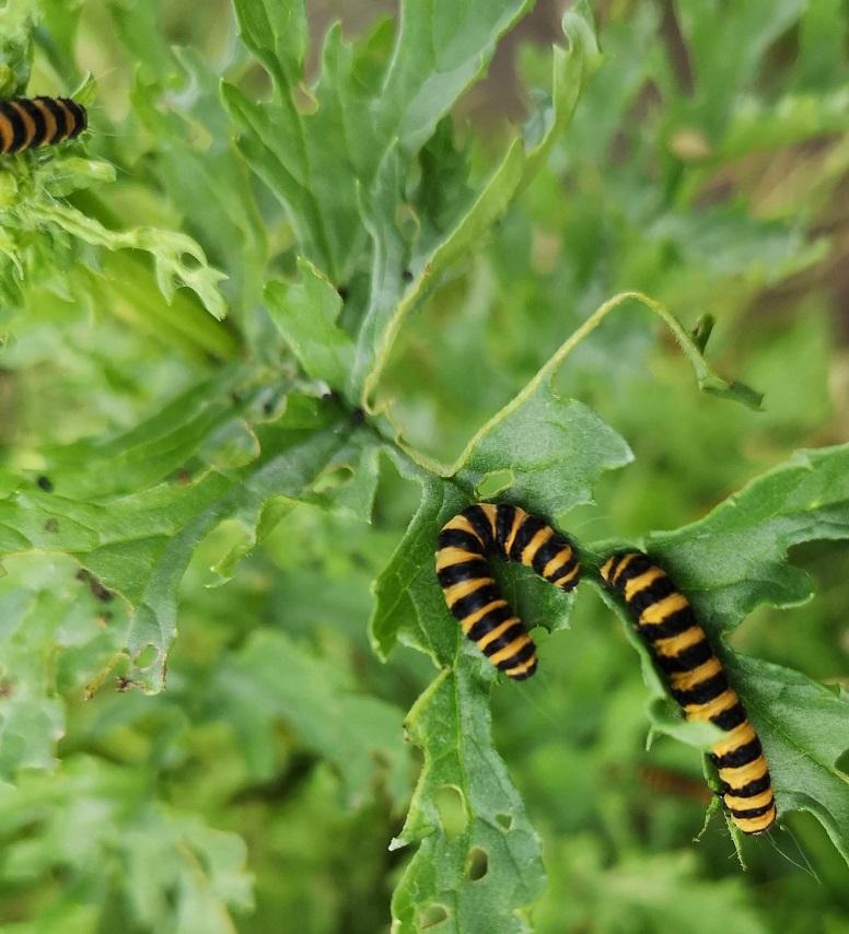 Stripey caterpillars