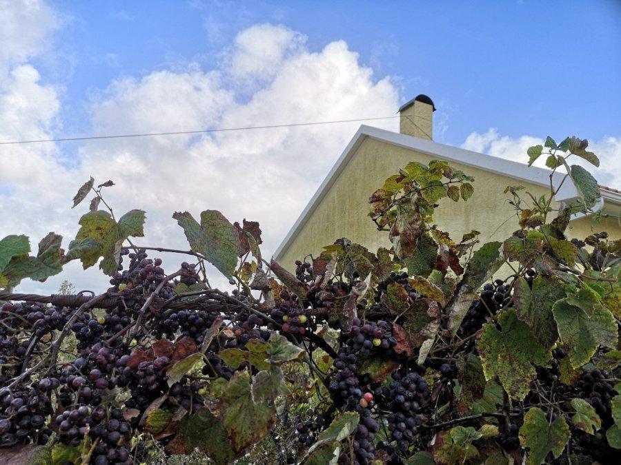grapes vines Portugal