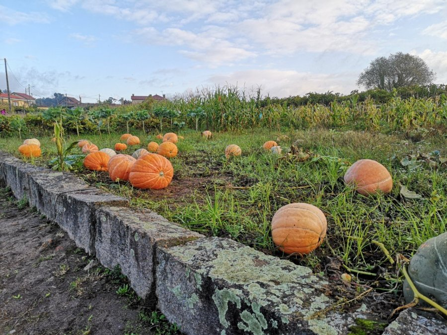 huge orange feild pumpkins