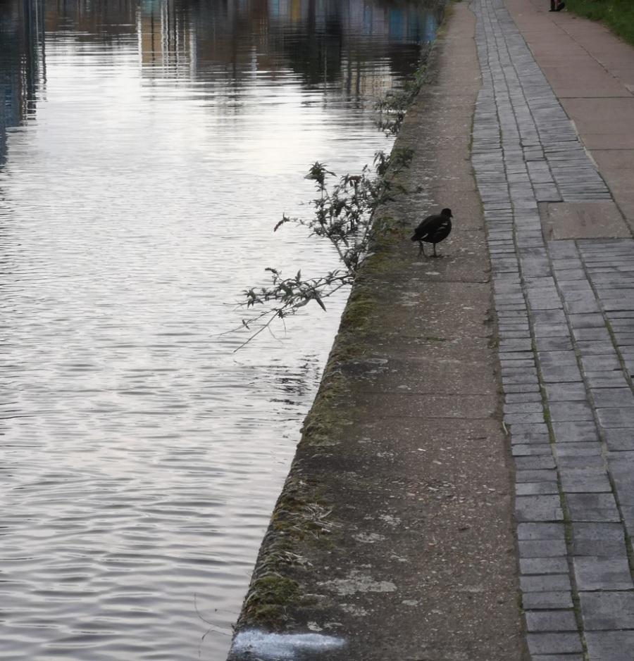 Moorhen, Regent's Canal, London